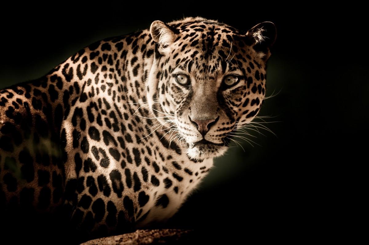 leopard-2895448_1920